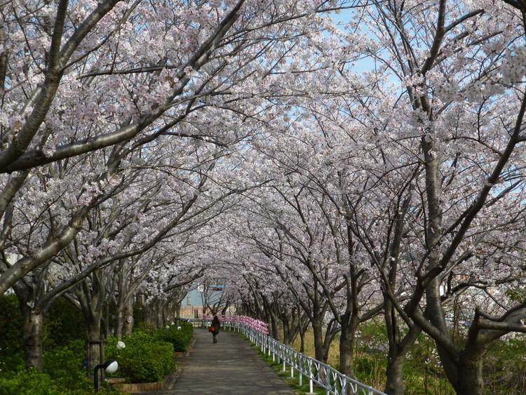 清谷川沿い 桜