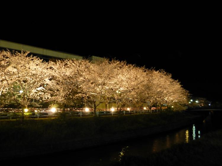 清谷川沿い 桜 ライトアップ