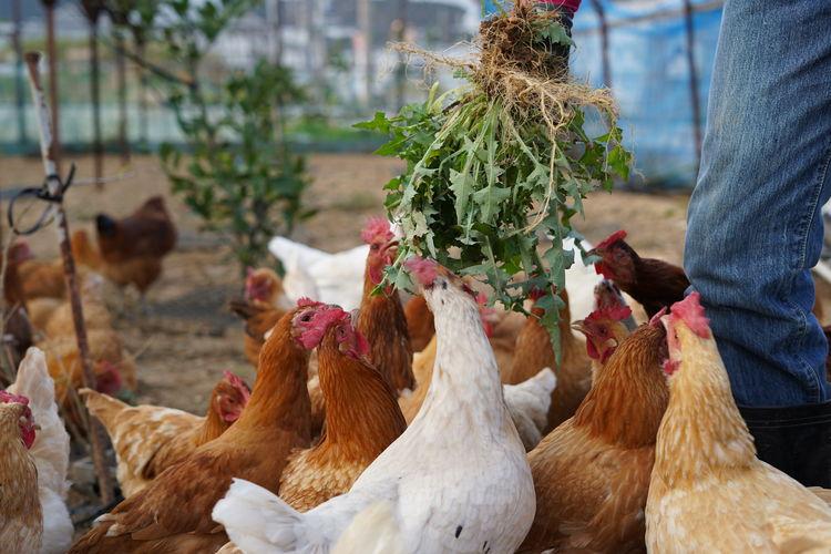 餌を食べる鶏