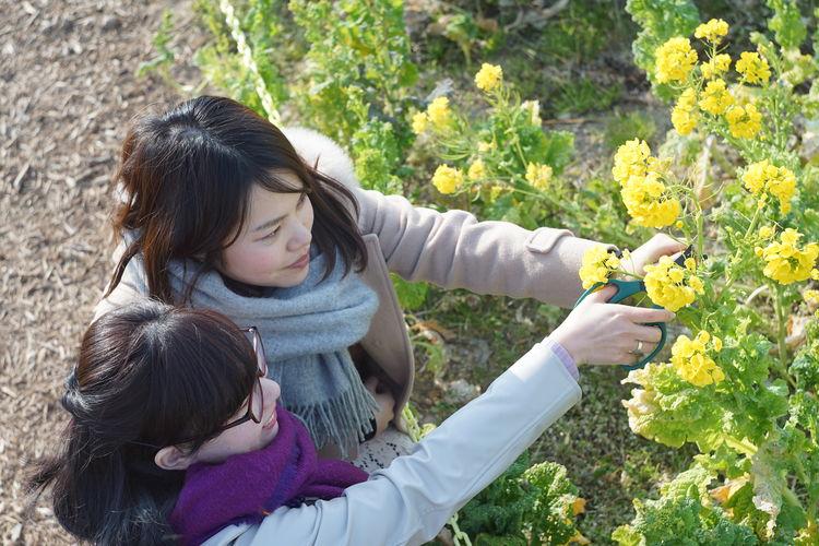 菜の花狩り