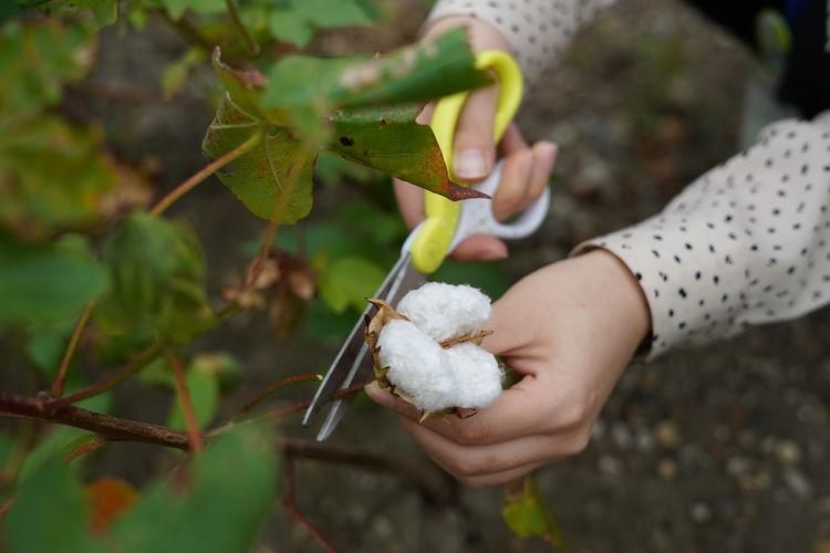 綿の実収穫体験
