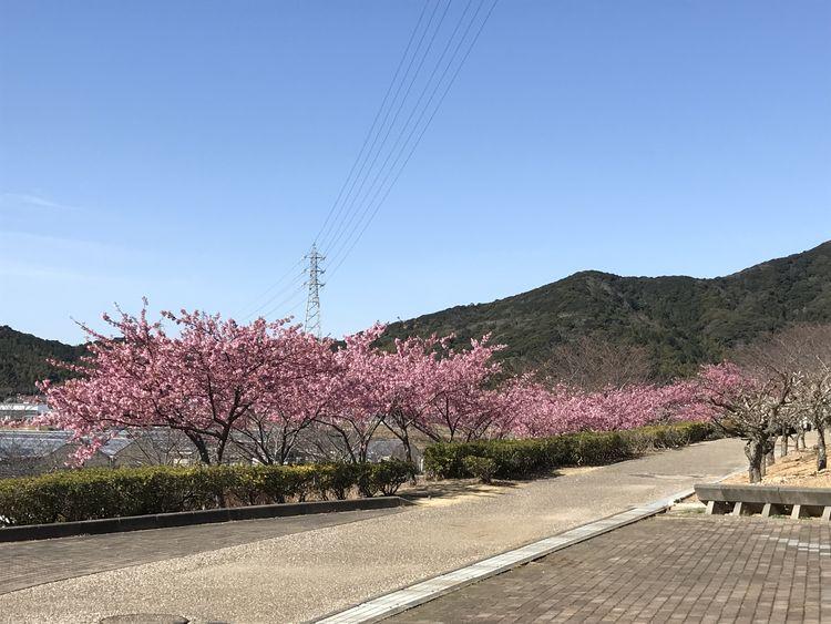 河津 桜 開花 状況